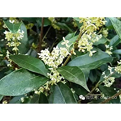 Fragrant Tea Olive Osmanthus Fragrans Qty 60 Fully Rooted Live Plants : Garden & Outdoor