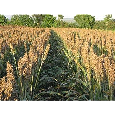 Dwarf Grain Sorghum - Makes GREAT seed-heads for birds!!! always! (1000 - Seeds) : Garden & Outdoor