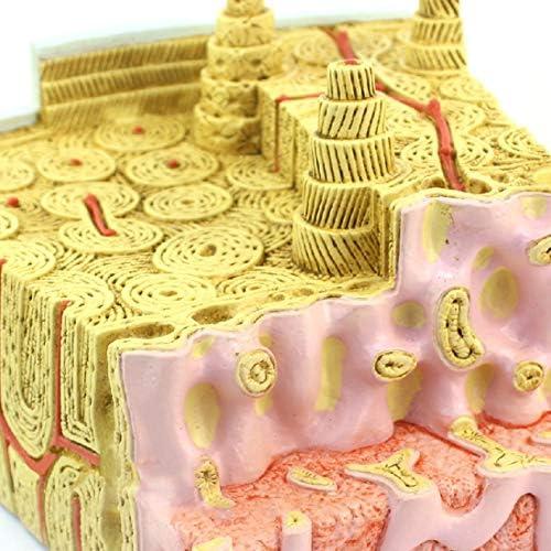 骨髄の構造の骨格モデル微細解剖モデル整形外科教授