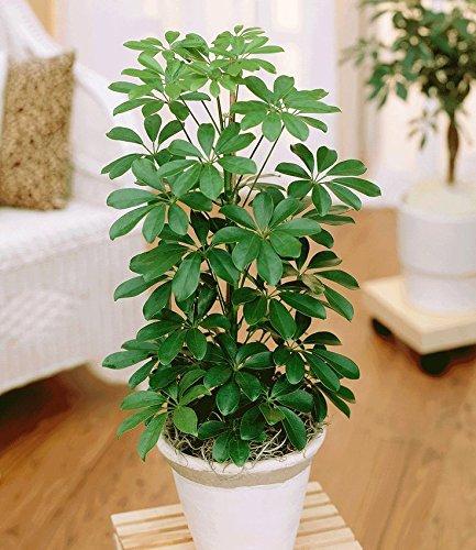 Schefflera Umbrella Plant - 1