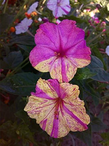 Mulit Colored Mirabilis jalapa 40 Four O/'clock Marvel of Peru Seeds