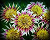 Montezuma Gazania Seeds Flower Seeds Harvested Fresh in Fall FREE PACK INCLUDED