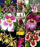 3 Large Diffferent Oncidiums Live Orchids Plants ...