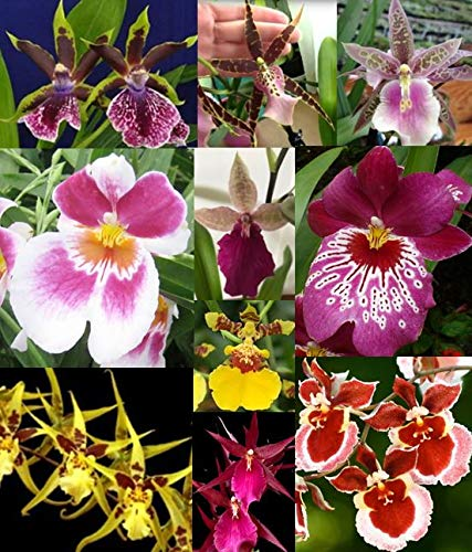 3 Large Diffferent Oncidiums Live Orchids Plants ... by Angels Orchids (Image #10)