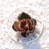Live Succulent Lithops Cactus Plant | Kalanchoe tomentosa 'Teddy Bear'
