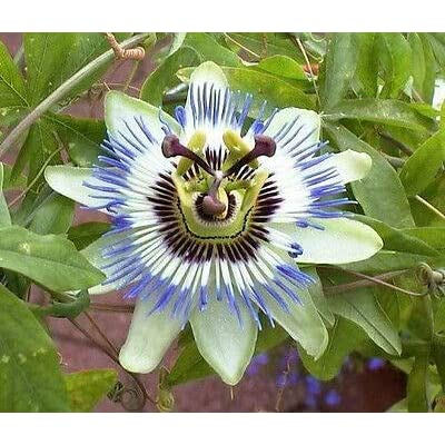 20 Passiflora Caerulea Blue Crown Passion Flower Vine Seeds for Planting Outdoors #RR01 : Garden & Outdoor