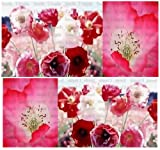 8000 x DOUBLE SHIRLEY POPPY Flower Seeds - Papaver rhoeas ~ VERY DOUBLE & SHOWY - Shades Of White, Pink & Red - By MySeeds.Co