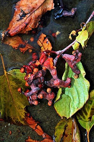 (Home Comforts Peel-n-Stick Poster of Raisins Leaves Fruit Japanese Raisins Twigs Vivid Imagery Poster 24 x 16 Adhesive Sticker Poster Print )