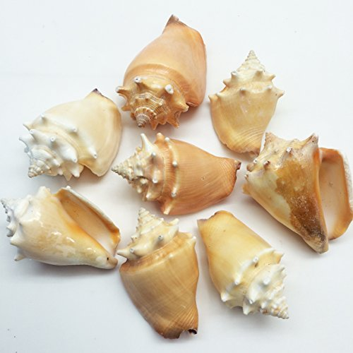 PEPPERLONELY 8PC Fighting Conch Sea Shells, 2 Inch ~ 3 Inch - Conch Shell