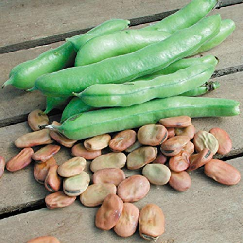 Fava Broad Windsor Seeds, 20 Premium Heirloom Seeds