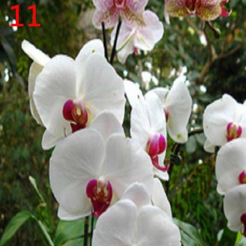 20 Pcs Bonsai Plant Butterfly Orchid Seeds Mix Color Phalaenopsis Flower