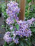 Solanum crispum Glasnevin - Potato Tree, Chilean Potato Bush