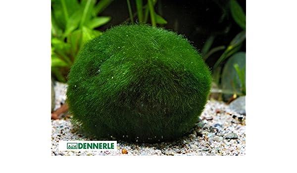 Gigante Marimo Musgo Ball Acuario Planta chladophora SP 5 - 7 cm: Amazon.es: Productos para mascotas