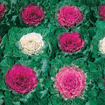 (Outsidepride Ornamental Cabbage - 1000 Seeds)