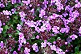 Thyme Caborn Wine & Roses herb aromatic leaves flowering summer loved by bees ground cover 9cm pot FREE DELIVERY