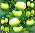 10 x Antonovka Apple - Malus pumila Antonovka Seeds - EXCELLENT ROOTSTOCK Used For Grafting - Very COLD Hardy Down To Zone 3 Minimum - By MySeeds.Co