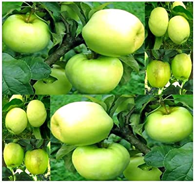 4 Packs x 10 Antonovka Apple - Malus pumila Antonovka Seeds - EXCELLENT ROOTSTOCK Used For Grafting - Very COLD Hardy Down To Zone 3 Minimum - By MySeeds.Co