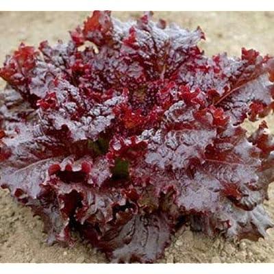 Red Lettuce Seeds, Leaf Lettuce Seeds, Heirloom Lettuce Seeds, Non-GMO 100ct : Garden & Outdoor