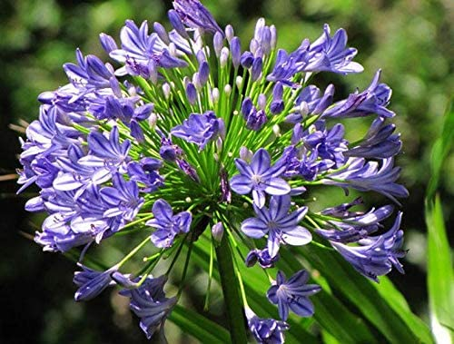 Amazon Com Agapanthus Africanus Bulbs African Blue Lily Hardy