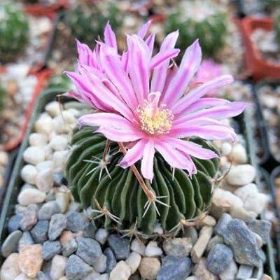 Succulent Plant Echinofossulocactus Multicostatus Brain Plant Cactus Succulent Flowering Plant for Decoration #RR08 : Garden & Outdoor