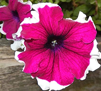 No Petunias Were Harmed In >> Amazon Com Portal Cool Pink Picotee Petunia Large Flowers Edged