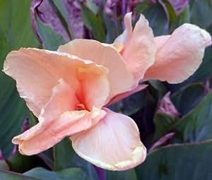 CANNA ROSE Canna x Generalis - 50 Bulk Seeds
