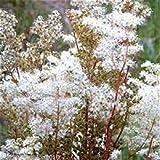 Meadowsweet filipendula ulmaria Wild Flower Meadow bog Pond 3,000 Seeds