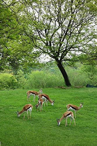 Home Comforts Canvas Print Captive Zoo Pittsburgh Animals Antelopes Vivid Imagery Stretched Canvas 32 x 24