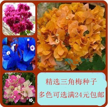 Price comparison product image 100pcsPotted bonsai seeds Vine Bougainvillea bougainvillea petals seeds 150 seeds / pack 49%