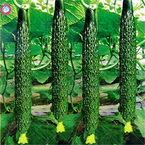 Pinkdose Bonsai 50 unids, Pepino Gigante, plantación de Vegetales ...