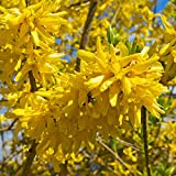 "Forsythia"" Spring Glory"" Stunning Arching Branches on This Vase-Shaped Shrub - 1 Gallon Plant"
