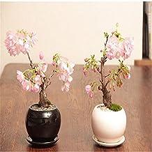 rare sakura seeds bonsai flower Cherry Blossoms Tree cherry blossom seeds Bonsai plants for home & garden