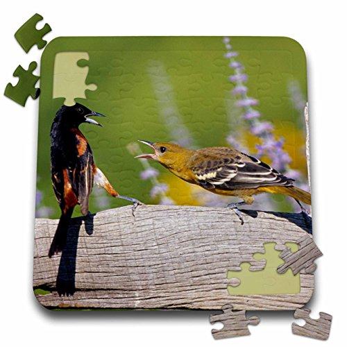 Baltimore Orioles Bird (Danita Delimont - Oriole - Orchard Oriole male and immature Baltimore Oriole fighting, Marion, IL - 10x10 Inch Puzzle (pzl_250903_2))