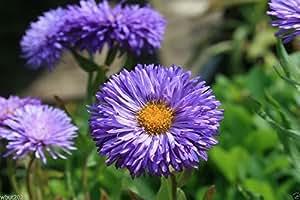 300 Showy Fleabane Daisy Seeds, Erigeron Speciosus - Azure Fairy - E-Z To Grow