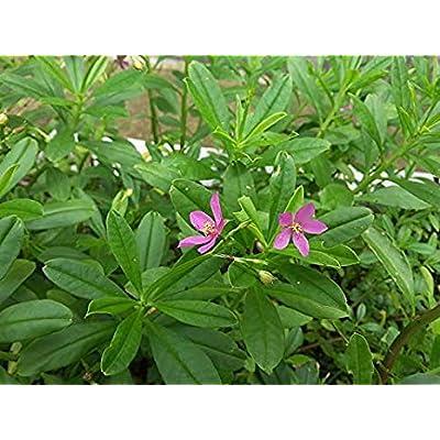 470 Seeds of Talinum paniculatum, Jewels of Opar (Fame Flower), 0.15 g : Garden & Outdoor