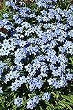 25- Bulbs- Ipheion - uniflorum 'Rolf Fiedler' - Spring Star Flower
