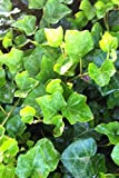 English Ivy (3.25 inch pots) 54 Pack
