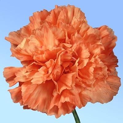 """CARNATION-Orange Sherbert """"Dianthus caryophyllus"""" 20+Perennial Seeds"""