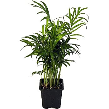 Amazon Com Bamboo Palm 10 Seeds Chamaedorea Florida
