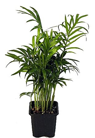Hirtu0027s Victorian Parlor Palm   Chamaedorea   4u0026quot; ...