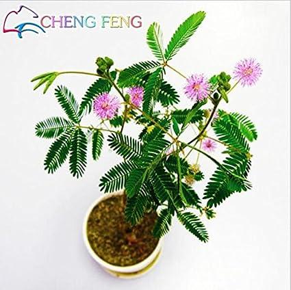 Amazon.com : s 30pcs Bashful Grass Seeds Mimosa Pudica Linn, Foliage ...