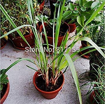 VISTARIC 1 Pack Profesional 300 semillas de la planta del follaje Las partÃculas de hierba de