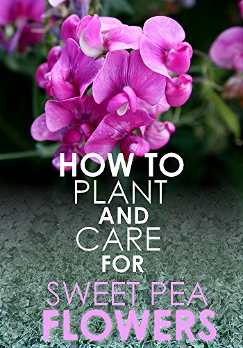 how-to-plant-grow-and-care-for-sweet-pea-flowers