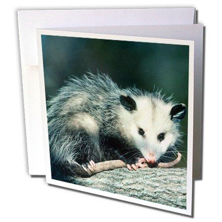 3dRose Virginia Opossum, Didelphis Virginian A, Juvenile In Tree, Illinois - Greeting Card, 6