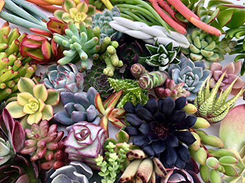 10 Assorted Live Succulent Cuttings, No 2 Succulents Alike, Great for Terrariums, Mini Gardens, and as Starter Plants by The Succulent Cult by The Succulent Cult (Image #4)