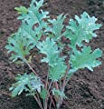 David's Garden Seeds Kale Red Russian D363A (Red) 500 Organic Seeds
