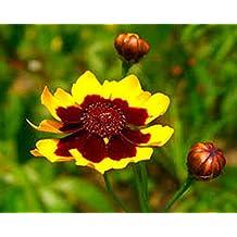Seeds Plains Coreopsis (Coreopsis tinctoria) Organic Wildflower Seeds