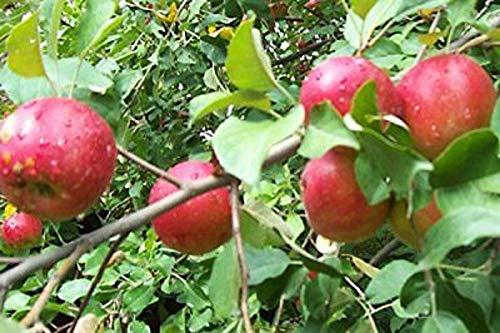 1 Sweet 16 Apple Tree Healthy Established One Gallon Pot Plant A3