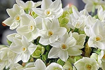 Amazon Narcissus Ariel 5 Bulbs Tazetta Daffodil Rare