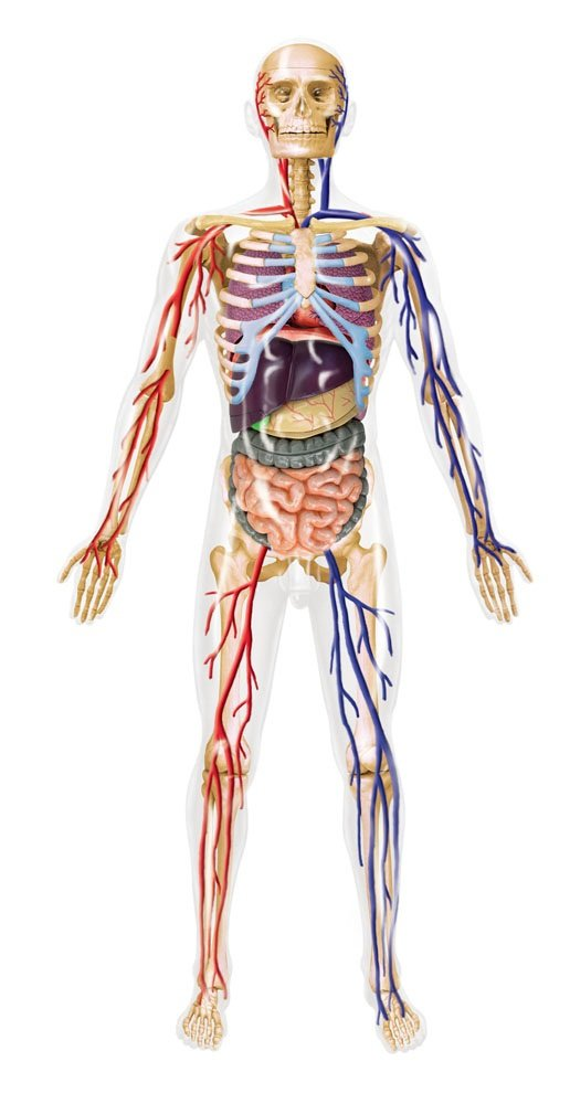 Skynet dreidimensionales Puzzle 4D VISION menschlichen Anatomie ...